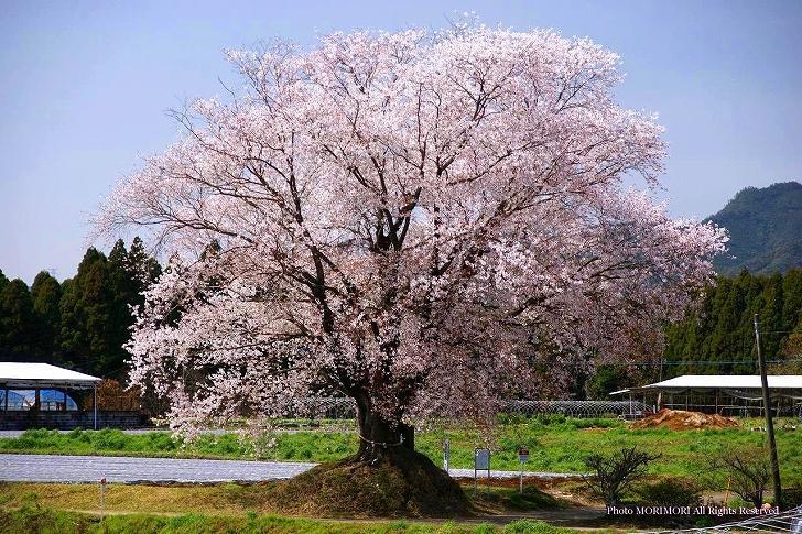 国富町 大坪のヤマザクラ (一本桜)