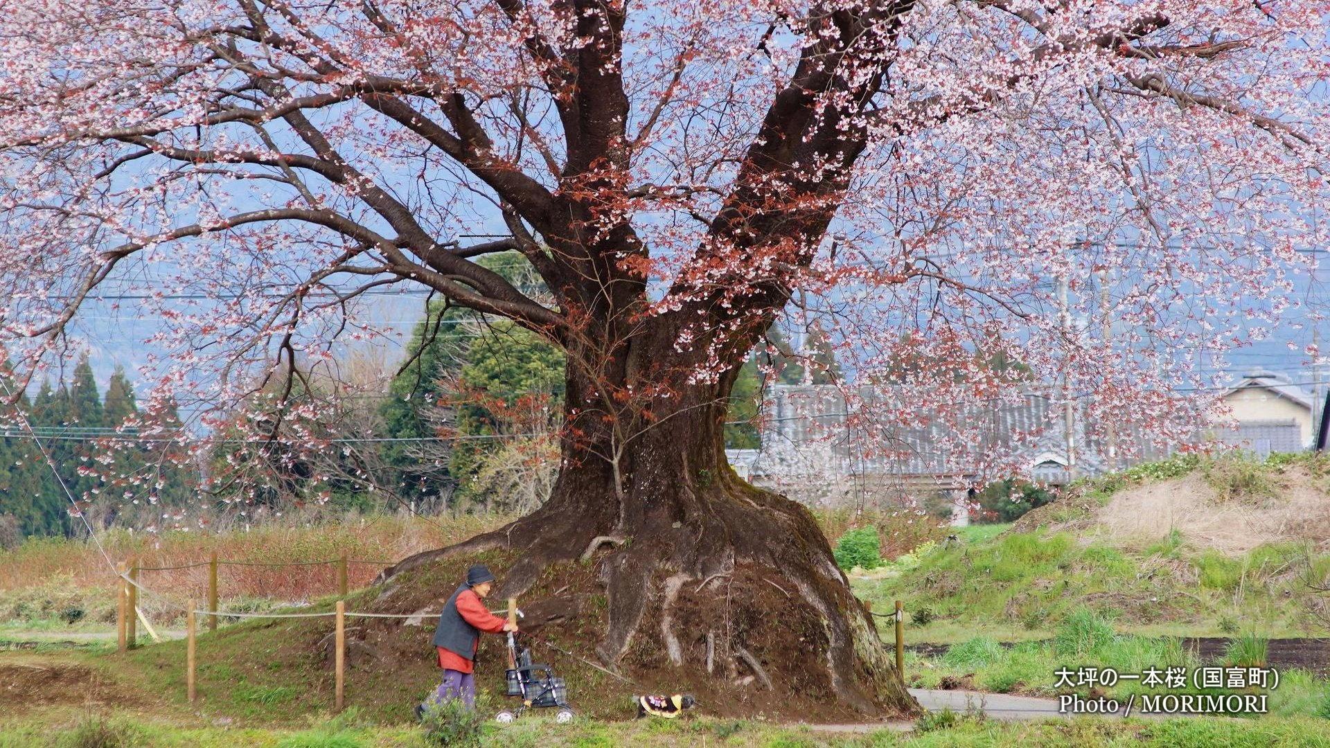 大坪の一本桜 2016年撮影
