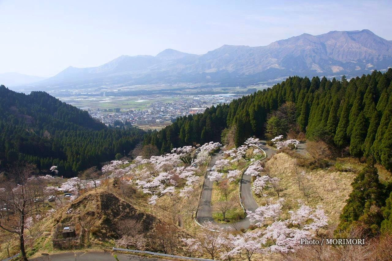 A thousand Takamori cherry trees