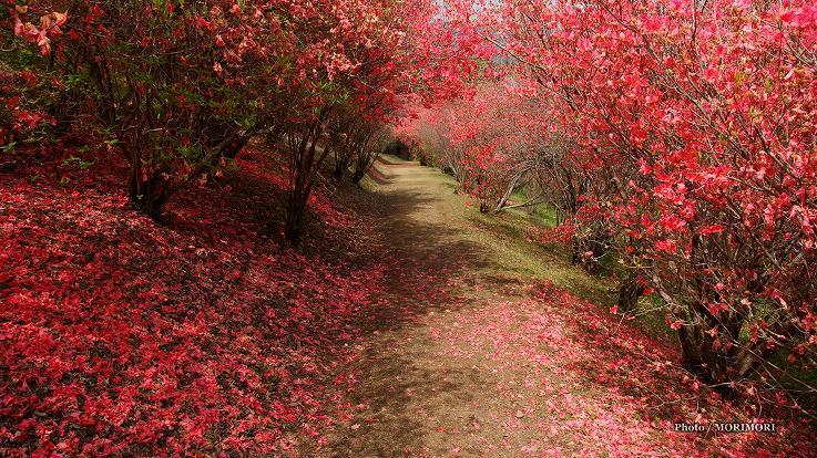 ■ 西都原 高取山公園中腹のミツバツツジのトンネル 宮崎県西都市