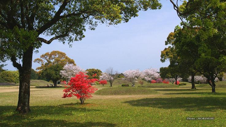 ■ 西都原古墳群内にもミツバツツジが咲きます。
